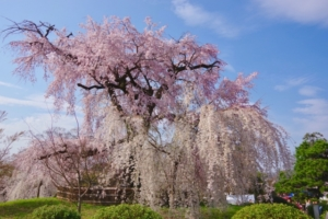 円山公園の桜
